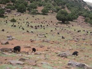 Hundreds of goats.