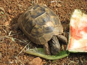 A wild tortoise.