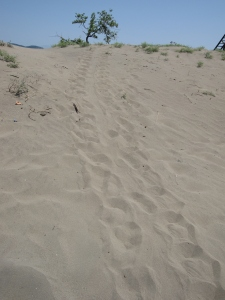 Tracks of a turtle running up a sand dune.