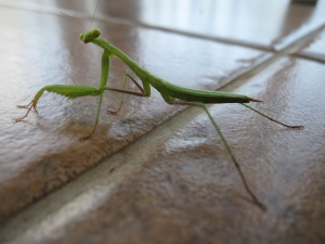 A Prayer Mantis on my balcony.