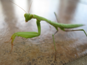 A close up of the Mantis.