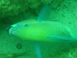 A Parrotfish sighted off a small wreck.