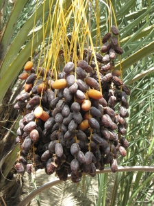 Dates growing in one of the palm plantations.