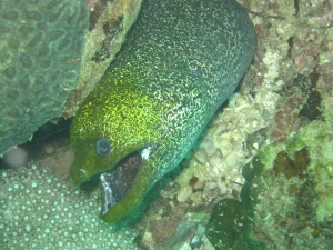 A Moray Eel laying await for an ambush.