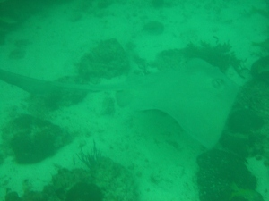 A two metre Eagle Ray.